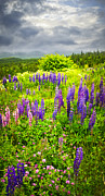 Lupines Framed Prints - Newfoundland meadow Framed Print by Elena Elisseeva