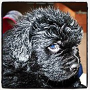 Petstagram Art - Newfoundland Puppy #newfoundland by Chris Barber