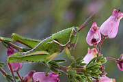 Fynbos Prints - Newly Discovered Grasshopper South Print by Piotr Naskrecki