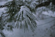 Pine Needles Posters - Newly Fallen Snow Gathers On Pine Poster by Stephen St. John