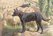 Kelpie Photo Posters - Ngm194112_782-lo, Poster by National Geographic
