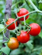 Ripe Photos - Nice Tomatoes by Kristin Elmquist