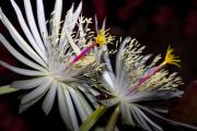 Cactus Flowers Photos - Night Bloomer by Kelley King