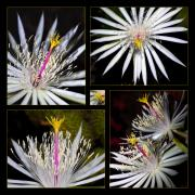 Cactus Flowers Posters - Night Blooming Cactus Flower Poster by Kelley King