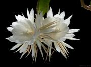 Cereus Acrylic Prints - Night-Blooming Cereus 2 Acrylic Print by Warren Sarle