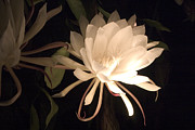 Epiphyllum Oxypetalum Photos - Night Blooming Cereus #39 by Jennifer Spencer