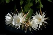 Cereus Acrylic Prints - Night-Blooming Cereus 4 Acrylic Print by Warren Sarle