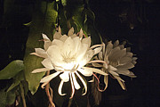 Epiphyllum Oxypetalum Photos - Night Blooming Cereus #43 by Jennifer Spencer