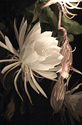 Epiphyllum Oxypetalum Photos - Night Blooming Cereus #64 by Jennifer Spencer