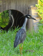Ditch Framed Prints - Night Heron Hunts Mudbugs Framed Print by Robert Frederick