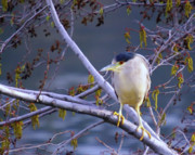 Shore Birds Posters - Night Heron  Poster by Jeff  Swan