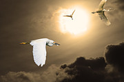 Water Fowl Posters - Night of The White Egrets . Partial Sepia Poster by Wingsdomain Art and Photography