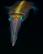 Squid Photos - Night Squid by Rico Besserdich