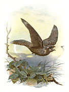 Bird Drawing Posters - Nightjar, Historical Artwork Poster by Sheila Terry