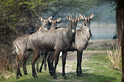 Horned Animals Framed Prints - Nilgai Framed Print by Photography by Masood Hussain