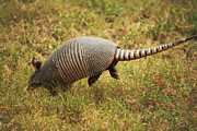 Cingulata Photos - Nine-banded Armadillo Jumping by Roena King