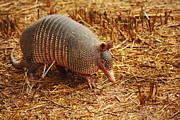 Cingulata Photos - Nine-banded Armadillo Portrait by Roena King