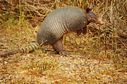 Cingulata Photos - Nine-banded Armadillo Raised by Roena King