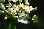 Ninebark Blooms Print by Cheryl Young
