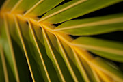 Sharon Mau Digital Art Posters - Niu - Cocos nucifera - Hawaiian Coconut Palm Frond Poster by Sharon Mau