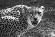Cheetah Photos - No Argument by Donna Blackhall