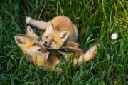 Fox Kits Framed Prints - No Biting Framed Print by Paul Burwell