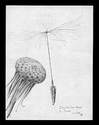 Dandelion Drawings - No Fear by John Chatterley