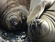 Elephant Seals Posters - No more pics please Poster by Ernie Echols