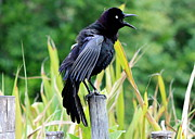 Common Grackle Posters - Noisy Grackle Poster by Carol Groenen
