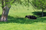 Black Angus Metal Prints - Noon Siesta Metal Print by Jan Amiss Photography