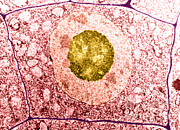 Nucleolus Posters - Normal Cell Poster by Science Source