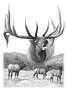 Pencil Drawings - North American Nobility Elk by Laurie McGinley