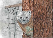North American Wildlife Drawings Posters - North American Pine Martin Poster by Don  Gallacher