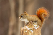 Algonquin Prints - North American red squirrel in winter Print by Mircea Costina Photography