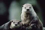 North American Wildlife Posters - North American River Otter Lontra Poster by Gerry Ellis