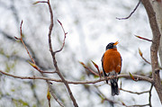 Tree Creature Prints - North American Robin Print by Ron Day