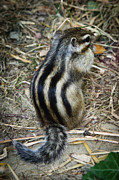 Sweetly Prints - North American striped squirrel Print by Ivica Vulelija