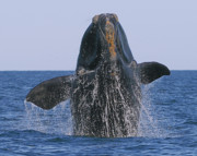 Seabirds Posters - North Atlantic Right Whale breaching Poster by Tony Beck
