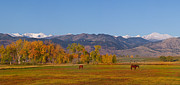 Grazing Snow Metal Prints - North Boulder County Colorado Front Range Panorama With Horses Metal Print by James Bo Insogna