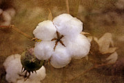 North Carolina Cotton Boll Print by Benanne Stiens