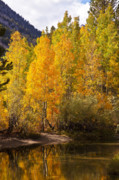 North Fork Prints - North Fork Bishop Creek Aspens Print by Greg Clure