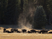 Bison Photos - North Rim Bison of the Grand Canyon by Alex Cassels