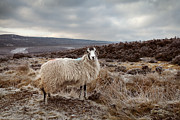 Wool Prints - North York Moors Sheep Print by Martin Williams