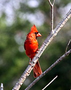 Travis Truelove Photography Posters - Northern Cardinal - Bird - The Scout Poster by Travis Truelove