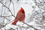 Red Feather Prints - Northern Cardinal - D001540 Print by Daniel Dempster
