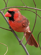 Marsh Bird Prints - Northern Cardinal Print by Dan McManus