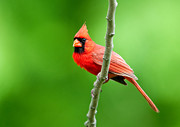 State Bird Prints - Northern Cardinal Print by Donna Caplinger