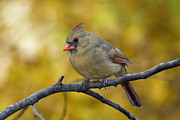 Indiana Autumn Art - Northern Cardinal Female - D007849-1 by Daniel Dempster