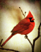 Backyard Birds Prints - Northern Cardinal Print by Lana Trussell