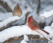 Redbird Prints - Northern Cardinal Pair 4284 2 Print by Michael Peychich
